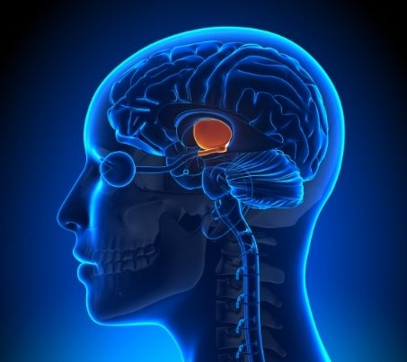 Dehydration facts: This photo shows the location of the hypothalamus in the brain