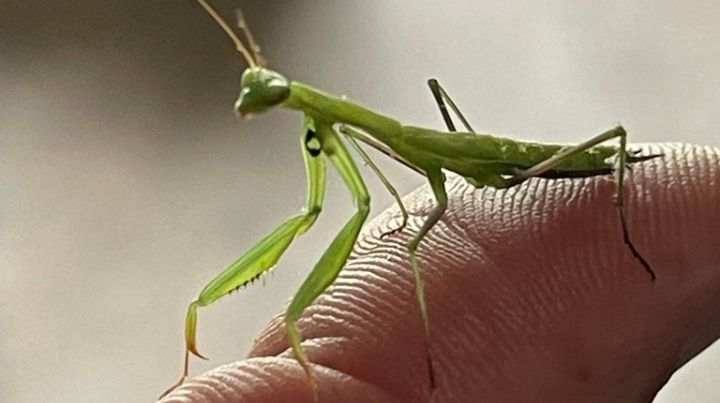 Preying-Mantis-Paying-Attention
